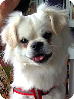 Japanese Chin Mix Puppy for adoption in Thousand Oaks, California - Bogie