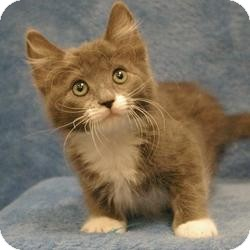 Domestic Mediumhair Kitten for adoption in Sacramento, California - Sansa