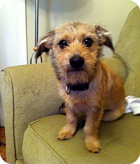 Cairn Terrier Mix Dog for adoption in Salem, New Hampshire - LITTLE TANNER