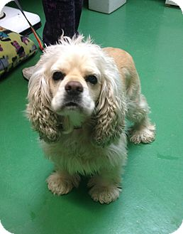 Cocker Spaniel Mix Dog for adoption in South Haven, Michigan - Fifi