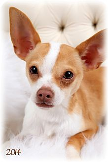 Chihuahua Mix Dog for adoption in New Orleans, Louisiana - Kiwi