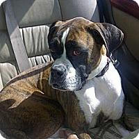 Adopt A Pet :: Bella Boxer - Scottsdale, AZ