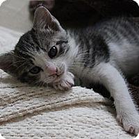 Adopt A Pet :: Cici - Randallstown, MD