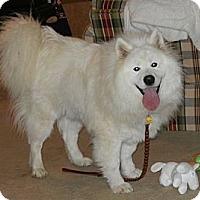 Adopt A Pet :: Saami - St. Charles, MO