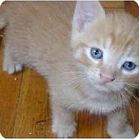 Adopt A Pet :: orange kittens - Etobicoke, ON