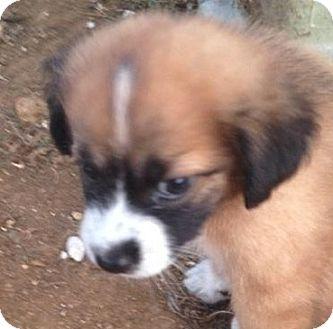 Labrador Retriever/Sheltie, Shetland Sheepdog Mix Puppy for adoption in Pennigton, New Jersey - Megan