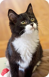 Domestic Shorthair Cat for adoption in Marietta, Georgia - Gloria