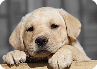 Labrador Retriever Puppy for adoption in Auburn, California - Hanna Banana