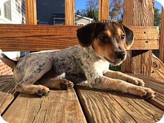Hound (Unknown Type) Mix Puppy for adoption in Richmond, Virginia - Merlin