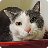 Domestic Mediumhair Cat for adoption in Westville, Indiana - Whiskers