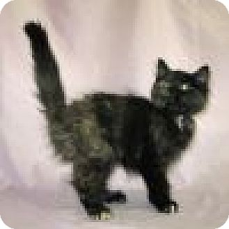 Domestic Mediumhair Cat for adoption in Powell, Ohio - Addie