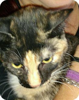 Munchkin Cat for adoption in Temecula, California - Peaches