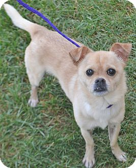Chihuahua Mix Dog for adoption in Fruit Heights, Utah - Eros