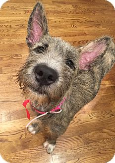 Giant Schnauzer Mix Puppy for adoption in Memphis, Tennessee - Sadie