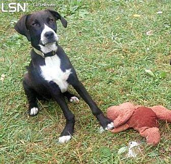 Labrador Retriever/Hound (Unknown Type) Mix Dog for adoption in Baxter, Tennessee - Rose