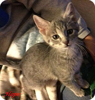 Domestic Shorthair Kitten for adoption in Chisholm, Minnesota - Hope