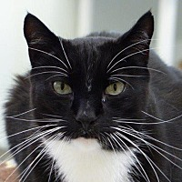 Domestic Shorthair Cat for adoption in Cumberland, Maine - Louie