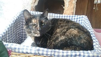 Domestic Shorthair Cat for adoption in Pie Town, New Mexico - Yolanda