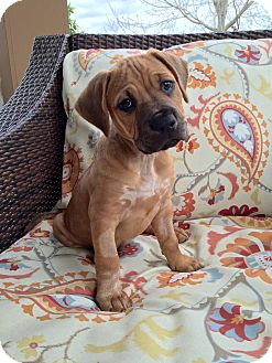 Labrador Retriever Mix Puppy for adoption in Jacksonville, Florida - Gummy Bear