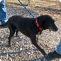 Retriever (Unknown Type) Dog for adoption in Terre Haute, Indiana - SPEEDY
