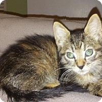 Domestic Shorthair Kitten for adoption in West Palm Beach, Florida - Pheobe