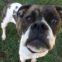 Adopt A Pet :: Diamond - Kansas City, MO