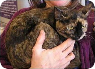 Domestic Shorthair Cat for adoption in Laurel, Maryland - Mirabai