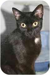 Domestic Shorthair Cat for adoption in Marietta, Georgia - Samaria