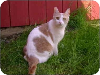 Domestic Shorthair Cat for adoption in Morrisville, Vermont - Patience