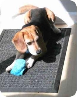 Beagle Dog for adoption in Portland, Ontario - Rascal