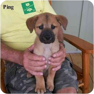 Chow Chow Mix Puppy for adoption in Slidell, Louisiana - Ping