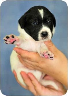 Labrador Retriever Mix Puppy for adoption in Southport, North Carolina - DJ