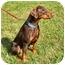 Photo 4 - Doberman Pinscher Dog for adoption in Greensboro, North Carolina - Stormy