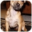 Photo 1 - Chihuahua Mix Puppy for adoption in Beverly Hills, California - Chelsea
