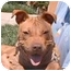 Photo 4 - Shar Pei/American Pit Bull Terrier Mix Puppy for adoption in Berkeley, California - Tabby