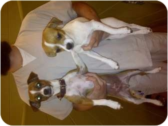 Chihuahua/Jack Russell Terrier Mix Dog for adoption in Charleston, South Carolina - Lilly Belle