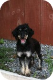 Poodle (Miniature) Dog for adoption in Franklinville, New Jersey - Hope