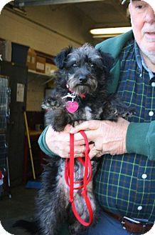 Poodle (Miniature)/Schnauzer (Miniature) Mix Dog for adoption in Alexandria, Virginia - Bosco