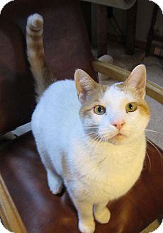 Domestic Shorthair Cat for adoption in Huntsville, Ontario - Diesel -Adoption Pending