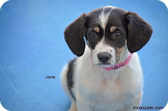 Great Pyrenees/Pointer Mix Puppy for adoption in Danielsville, Georgia - Jane
