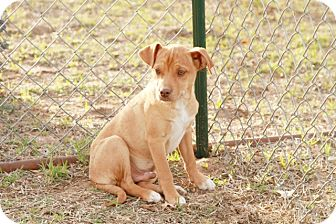 Black Mouth Cur/Chihuahua Mix Puppy for adoption in Ranger, Texas - Trooper