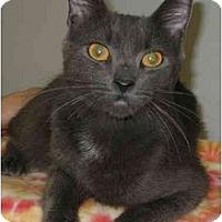 Adopt A Pet :: Smokey - LUVbug - Cincinnati, OH