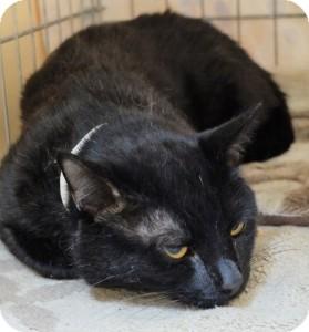 Domestic Shorthair Cat for adoption in Medford, Massachusetts - Zachary Binx