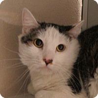 Adopt A Pet :: Catboy - Gilbert, AZ