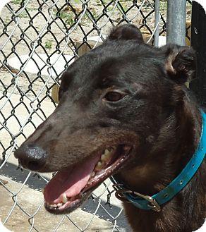 Greyhound Dog for adoption in Longwood, Florida - Jhawk Ridn Dirty
