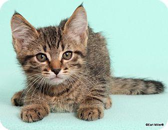 Domestic Shorthair Cat for adoption in Las Vegas, Nevada - Champion