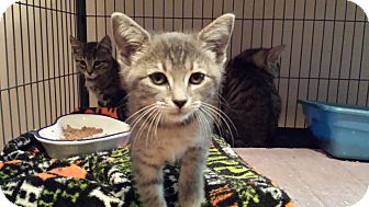 Domestic Shorthair Kitten for adoption in Lawrenceville, Georgia - Illume