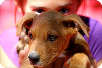 Labrador Retriever/Bull Terrier Mix Puppy for adoption in Naugatuck, Connecticut - Chester