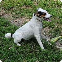 Australian Cattle Dog Mix Dog for adoption in Trenton, New Jersey - Wilson