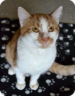 Domestic Shorthair Cat for adoption in Michigan City, Indiana - Dakota